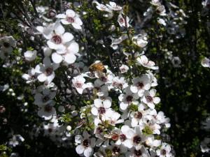 マヌカの花の画像